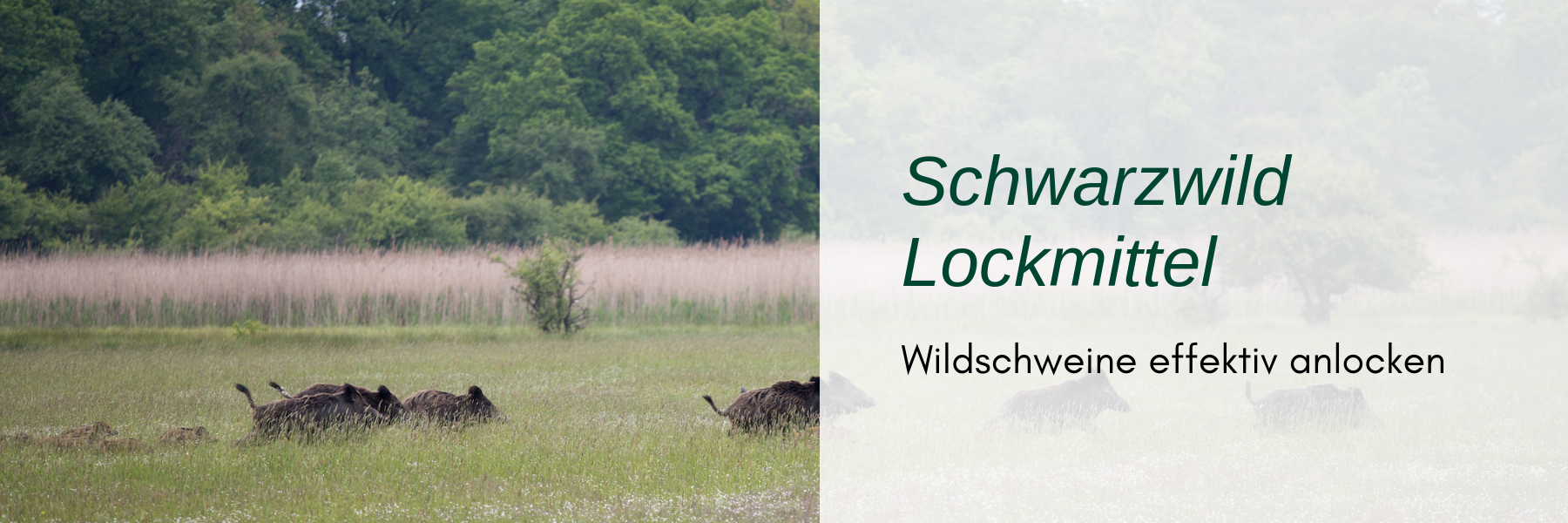 Schwarzmittel Lockjagd - Wie man Wildschweine effektiv anlockt