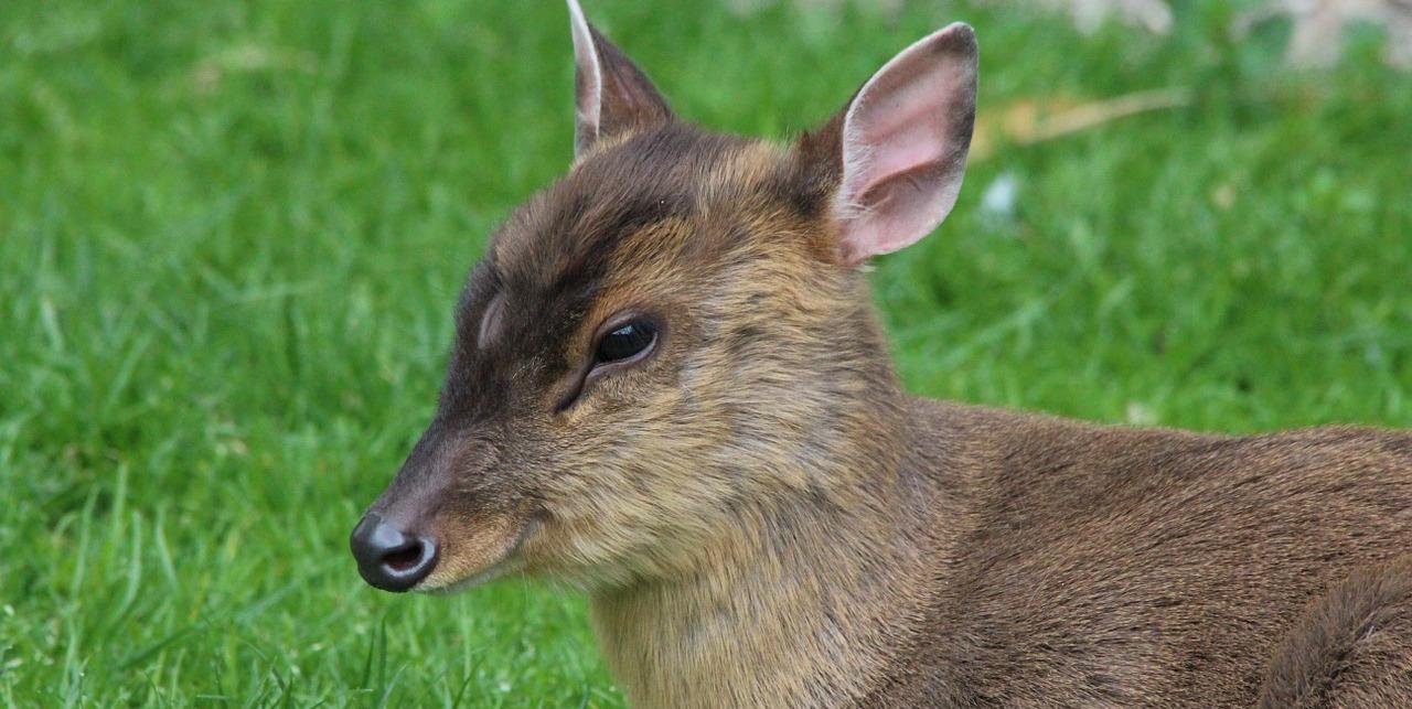 Auch Muntjak können auf einer Jagdreise nach England bejagt werden