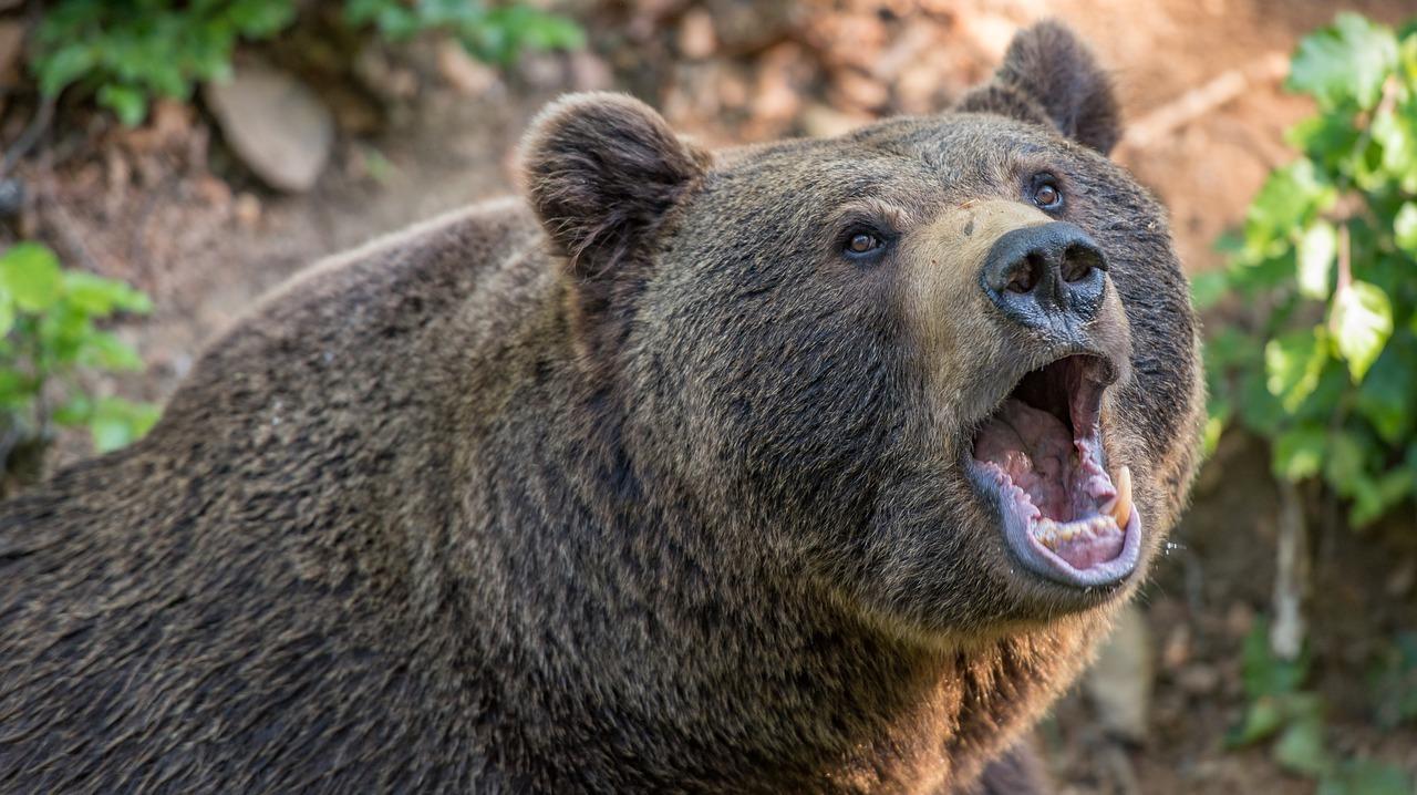 Braunbären jagen in Rumänien